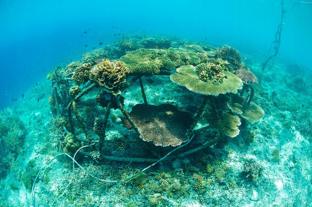 Biorock structures with healthy hard corals, Gili Trawangan, Lombok, Indonesia.