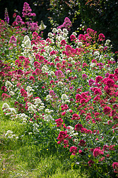 Centranthus ruber - pink and white valerian - planted along the bottom of a hedge