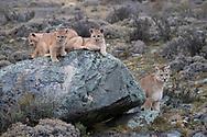 Wild Pumas, Torres del Paine National Park, Patagonia, Chile