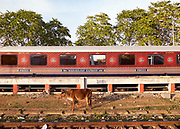 India, Madhya Pradesh. Khajuraho station. Maharajas' Express luxury train. A cow eating grass between the tracks.