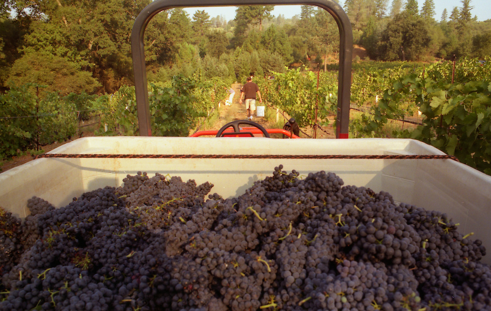Neighbors gather for a fall grape harvest at a small family-owned vineyard in Murphys.