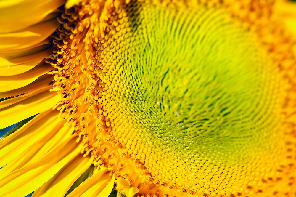 Sunflower close-up.