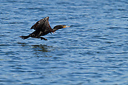Double-crested Cormorant running on the surface of the lake for takeoff, Lake Perris, North America