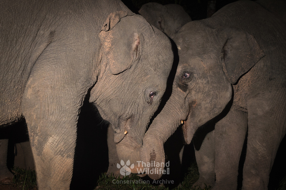 The Asian or Asiatic elephant (Elephas maximus) is the only living species of the genus Elephas and is distributed in Southeast Asia.