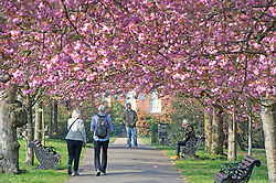 ©Licensed to London News Pictures 08/04/2020  <br /> Greenwich, UK. A pink canopy of cherry blossom. People get out of the house from Coronavirus lockdown to exercise and enjoy the sunny weather in Greenwich park,Greenwich, London. Photo credit:Grant Falvey/LNP