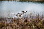 """English Setter Welpe """"Rudy"""" am 03.11. 2017 in herbstlicher Stimmung am Teich von Stara Lysa, (Tschechische Republik).  Rudy wurde Anfang Januar 2017 geboren und ist vor einiger Zeit zu seiner neuen Familie umgezogen."""
