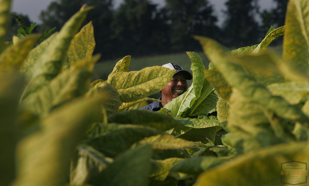 Burley Tobacco is harvested o nthe Sam Weiss Farm in north central Kentucky, Thursday, Aug. 23, 2006. Weiss is the fourth, and possibly last, generation of his family to work the land that has been in the family for nearly 100 years.
