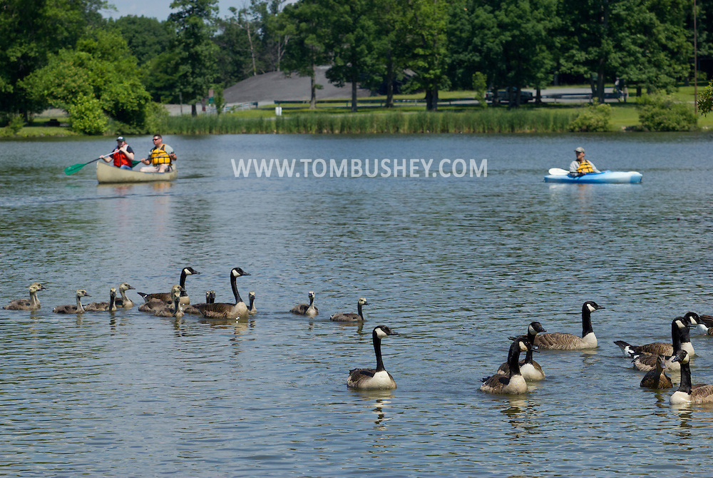 Middletown, New York -  A team from the New York State Department of Environmental Conservation uses canoes and kayaks to round up Canada geese at Fancher-Davidge Park on June 23, 2014. The DEC herded the geese into a pen and then banded the geese that did not already have bands. Geese are banded in late June and early July because they are molting and unable to fly.  Banding helps scientists learn about the birds' migration, feeding patterns and other behaviors.