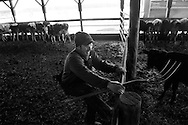 AUBURN, NEW YORK - MARCH 06: Joe Tidd works on his farm in Auburn, NY. Joe runs a small dairy farm with his son in upstate New York. They have been hit hard by the recent drop in milk prices. They recently had to get rid of their health insurance because it had gotten too expensive.