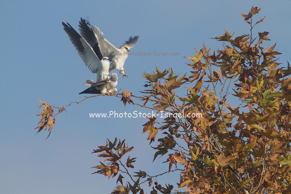 Black-winged Kite (Elanus caeruleus) mating on treetop, hulla valley, israel
