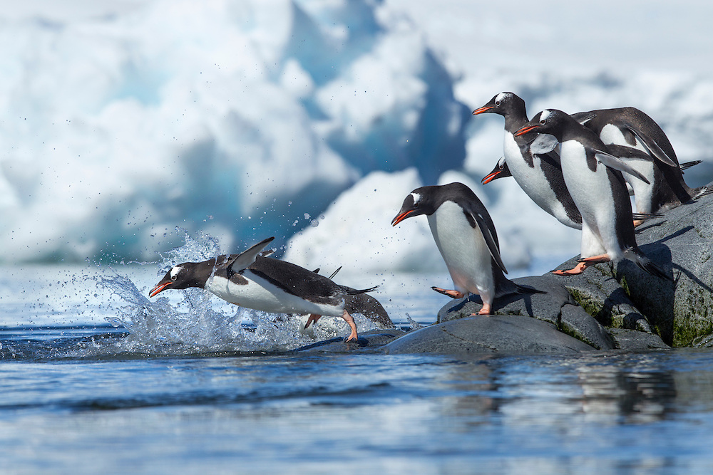 Antarctica, Petermann Island, Line of Gentoo Penguins (Pygoscelis papua) leaping into ocean from rocky shoreline