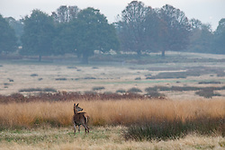 © Licensed to London News Pictures. 23/10/2019. London, UK. A doe blends in to the autumn colours in the park. Richmond Park looking autumnal in the hazy sun as weather experts predict a wet weekend before the clocks go back on Sunday. Photo credit: Alex Lentati/LNP