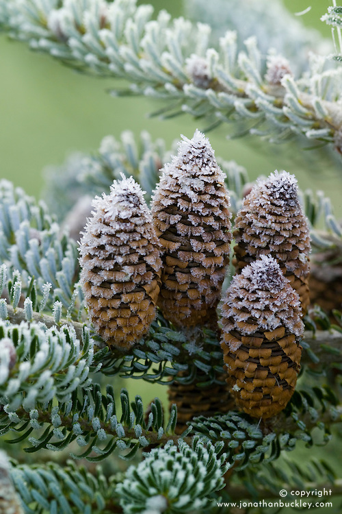 Hoar frost on the cones of Abies koreana 'Silver Snow'