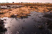 A herd of camels roam the oil soaked grounds of Rumaila oil field in southern Iraq. The Rumaila field is one of Iraq's biggest oil fields with five billion barrels in reserve. Rumaila is also spelled Rumeilah.