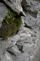 moss growing on stone wall on Inis Oirr Island the Aran Islands County Galway Ireland
