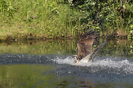 Osprey emerges from splash and starts fly-up from pond after catching a trout, © 2015 David A. Ponton