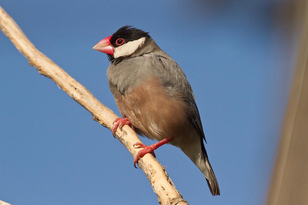 Java Sparrow photo Hawaii