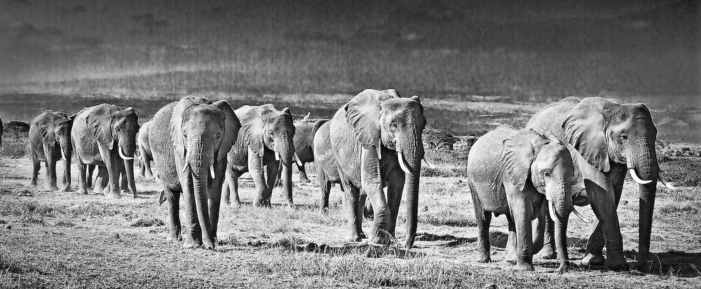 Elephant herd walking across plains in Amboseli, Kenya (photo by Wildlife Photographer Matt Considine)