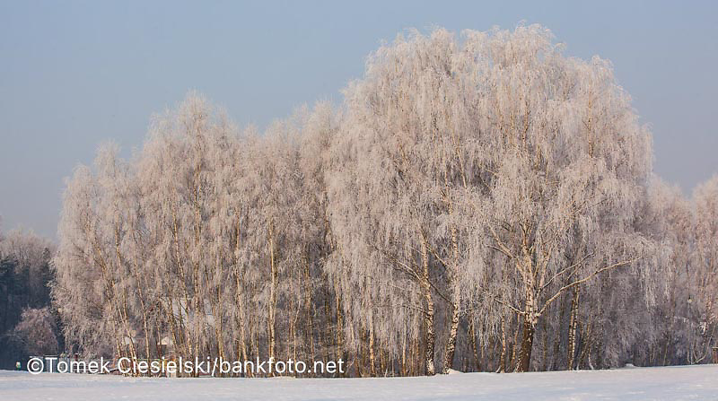Betula utilis covered by hoarfrost