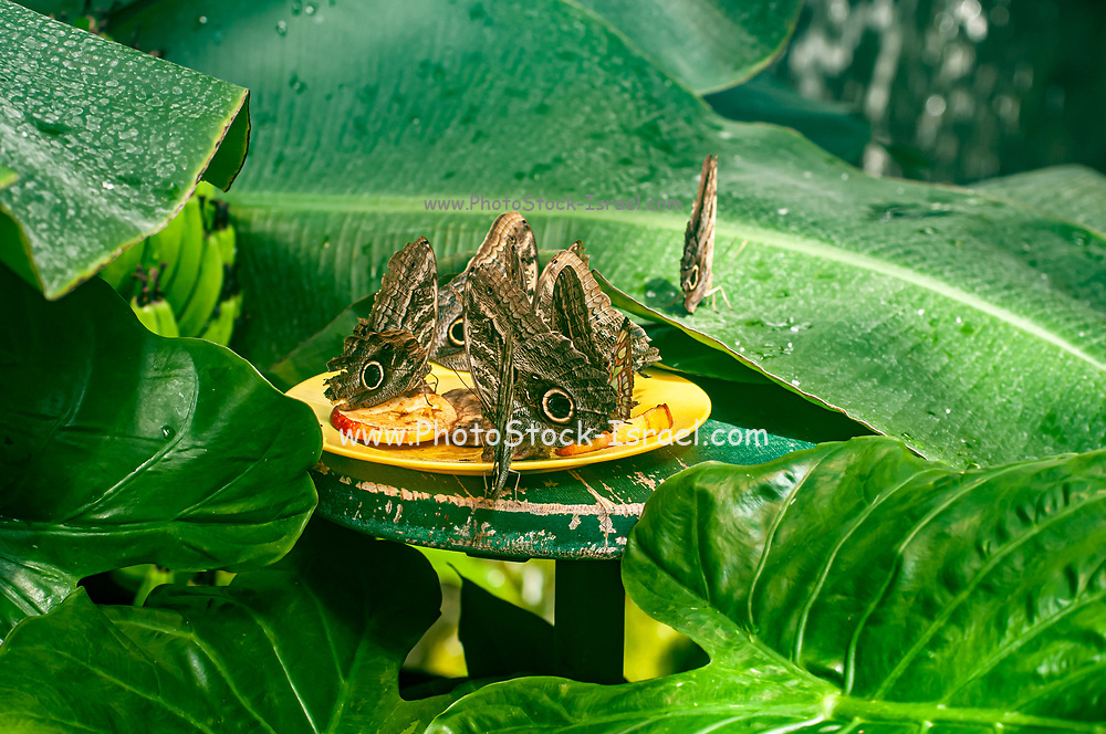 Close up of Morpho peleides butterfly (Morpho peleides, the Peleides blue morpho, common morpho or the emperor) in the Butterfly House in the Burggarten, Vienna, Austria
