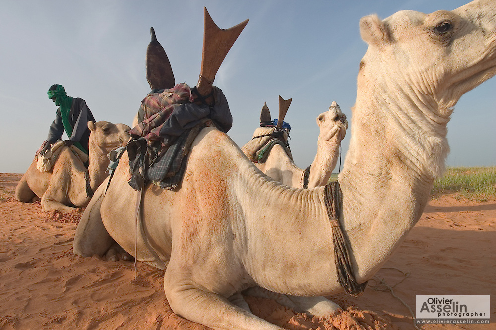 Burkinabe camel herder preparing his camels for travel in the Sahel outside Gorom Gorom, Northeastern Burkina Faso..