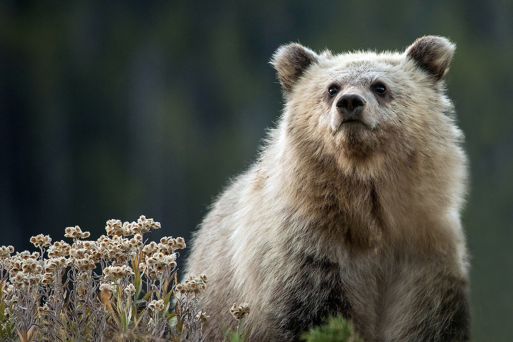 In 2015, the grizzly sow known as Raspberry, the daughter of Blaze, emerged from her den with two cubs of the year. Nicknamed Rocky and Snow, the cubs made their first appearance in late June. Sadly, Rocky did not survive, but Snow appears to be thriving under his mother's care and has grown into a healthy little cub.