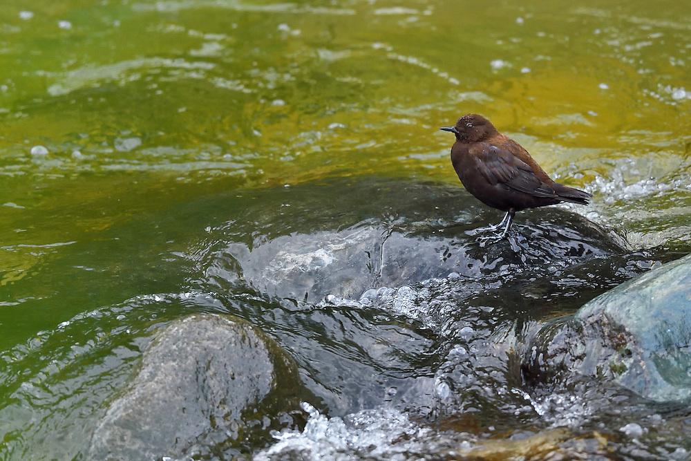 Brown or Asian or Pallas's dipper, Cinclus pallasii, Tangjiahe National Nature Reserve, NNR, Qingchuan County, Sichuan province, China