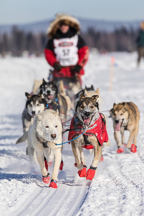 Musher Paul Gebhardt competing in the 45rd Iditarod Trail Sled Dog Race on the Chena River after leaving the restart in Fairbanks in Interior Alaska.  Afternoon. Winter.