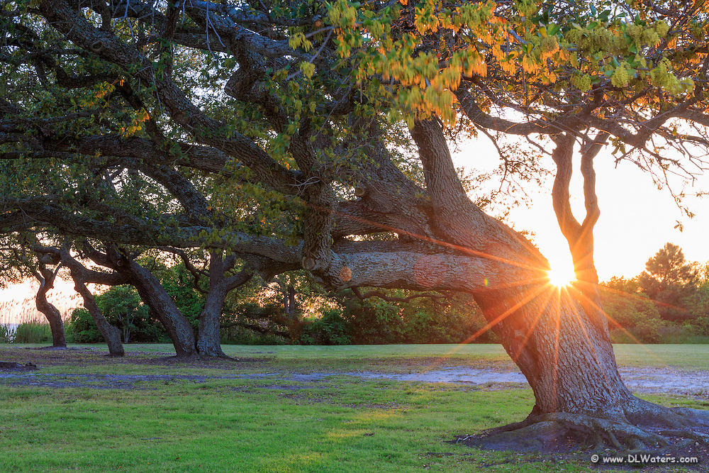 Live Oak tree and sunburst in Corolla NC on the Outer Banks.