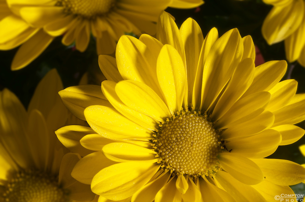 Close up Yellow Daisies
