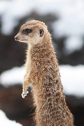 Meerkats in the snow at Edinburgh Zoo..©Michael Schofield.