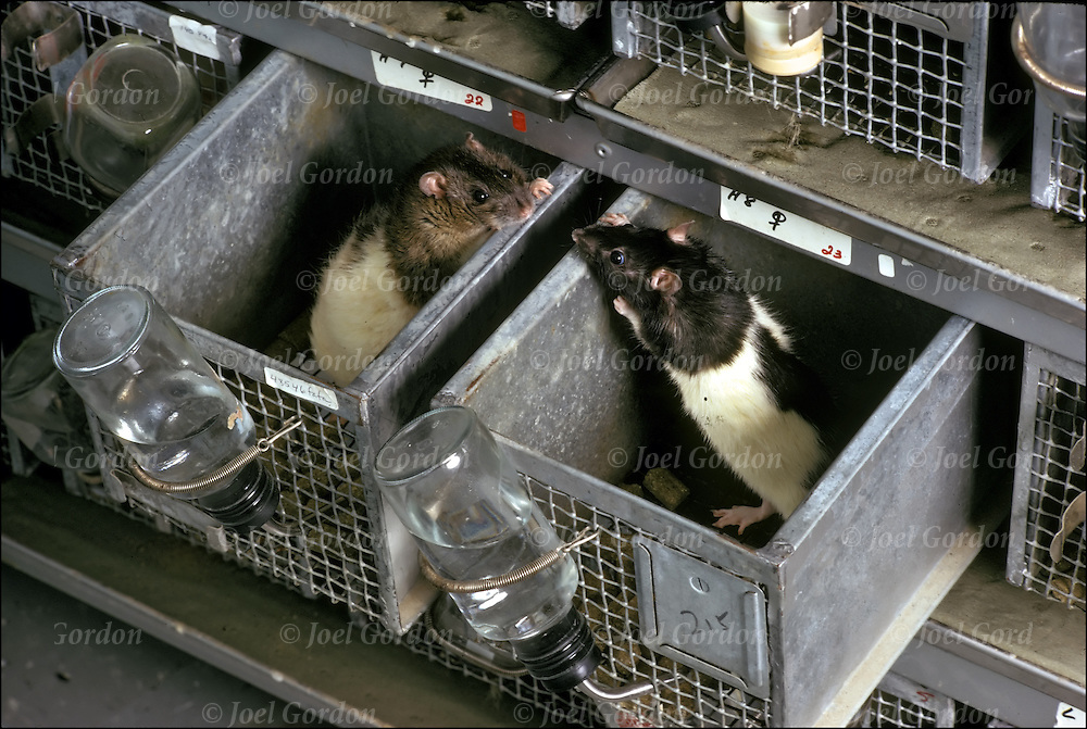 University animal testing research using mice. Two female mice looking at each other.