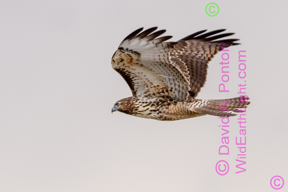 Juvenile red-tailed hawk in level flight, © 2017 David A. Ponton [Prints to 8x12, 16x24, 24x36 or 40x60 in. with no cropping]