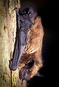 A Big Brown Bat (Eptesicus fuscus) roosting on tree bark. Forest park; NE Oregon.