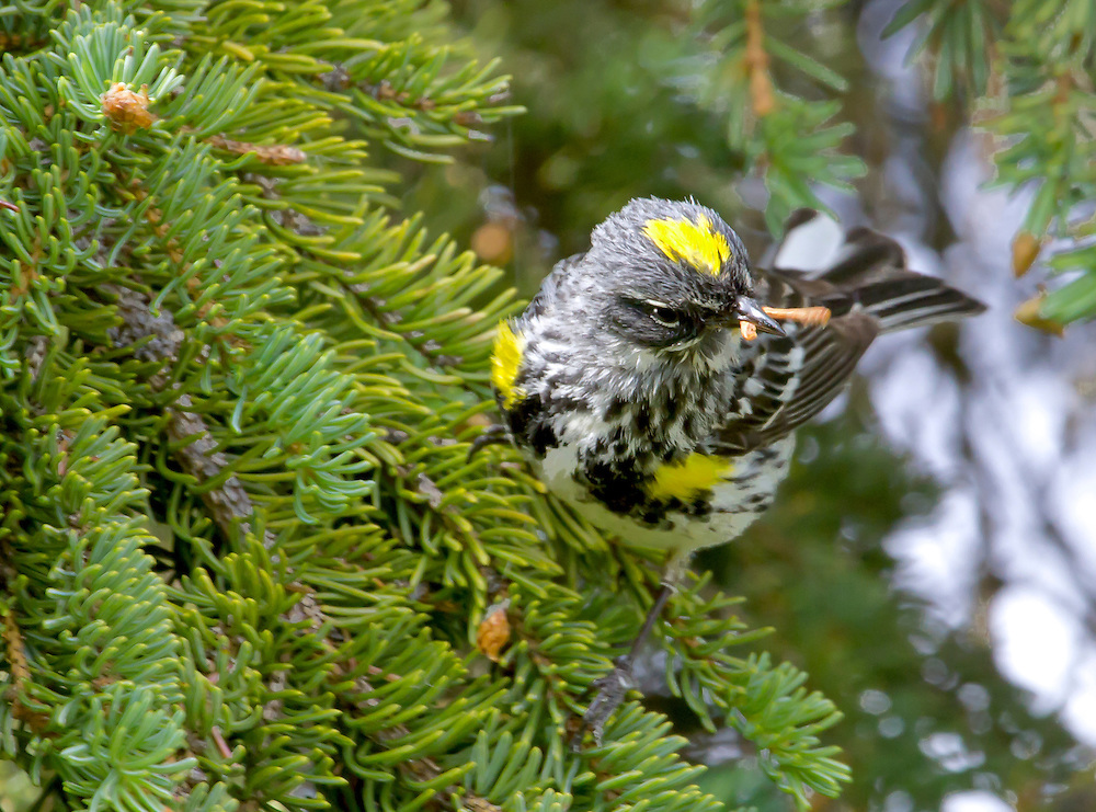 Alaska. Myrtle Warbler (Dendroica coronata) catching a grub for recently fledged young, Anchorage.