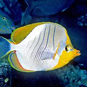 Yellowhead Butterflyfish inhabit reefs. Picture taken Maldives. Range East Africa to Maldives.