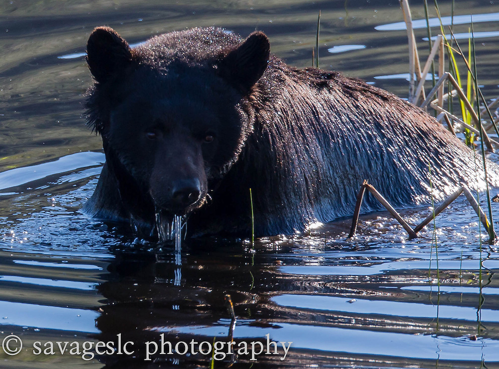 A black bear cooling off in the pond. Yellowstone National Park May 2013