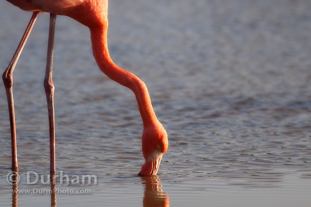 Greater Flamingo (Phoenicopterus ruber) feeding in a lagoon near Bachas Beach on Santa Cruz Island (Indefatigable Island), Galapagos Islands, Ecuador.