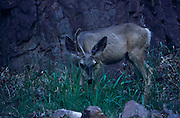 Mule deer (Odocoileus hemionus columbianus) Bright Angel Campground, Grand Canyon National Park, Arizona..Media Usage:.Subject photograph(s) are copyrighted Edward McCain. All rights are reserved except those specifically granted by McCain Photography in writing...McCain Photography.211 S 4th Avenue.Tucson, AZ 85701-2103.(520) 623-1998.mobile: (520) 990-0999.fax: (520) 623-1190.http://www.mccainphoto.com.edward@mccainphoto.com