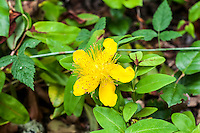 St. Johns' wort is the name given to the nearly 400 species of the Hypericum species found around the world. Traditionally collected and harvested on St. John's Day (June 24), this particular species is native to Eastern Europe extending deep into Asia. Medicinally collected for use to treat depression, I've made tea from the leaves that was not only delicious, it also left me feeling quite (and perhaps overly) cheerful! This one was found about one third of the way up Mount Rainier's western face in Washington State.