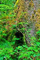 Douglas Maple (Acer glabrum) and Sord Fern (Polystichum munitum) grow around a Douglas-Fir (Pseudotsuga menziesil).  Olympic National Park, Washington.