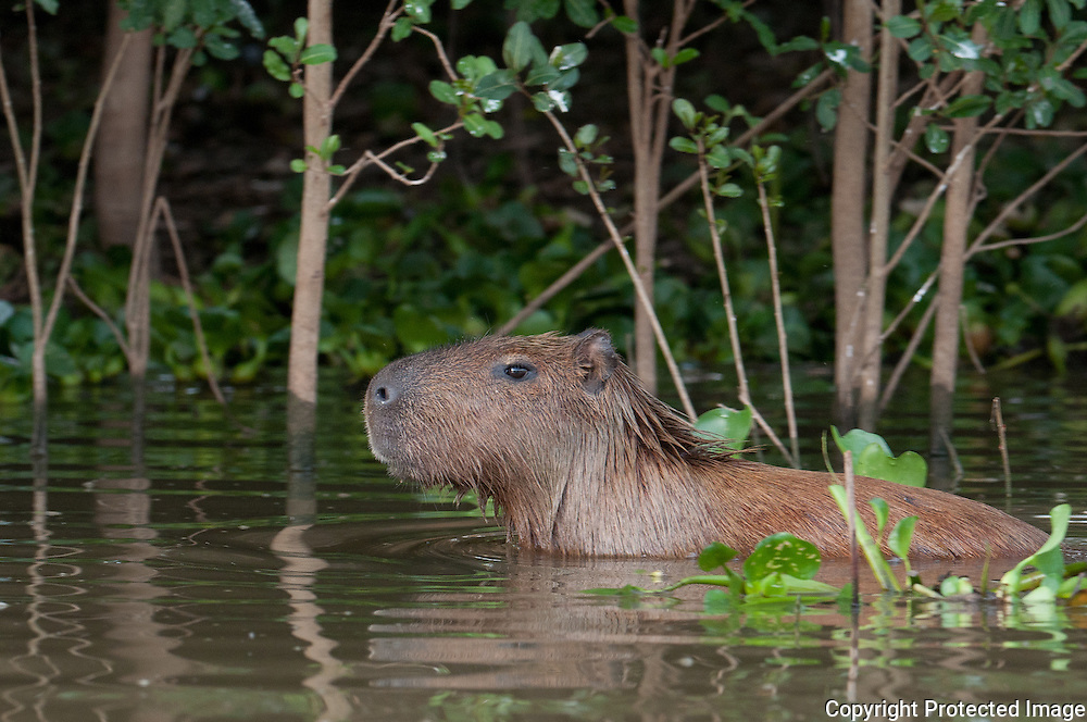 Capybara along the Pixiam river in the Pantanal, Brazil