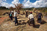 Rice harvest in Shan State, Myanmar.