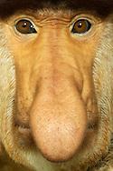 Proboscis Monkey (Nasalis larvatus). This is a primate species from Borneo. The most striking feature is its large droopy and fleshy nose. Only males have this nose. It is a secondary sexual characteristic. The bigger the nose, the greater the attractiveness for females. The nose grows life-long. It also serves as a resonating body for vocalization. Zoo Apenheul, Apeldoorn, The Netherlands. / Nasenaffe (Nasalis larvatus). Es handelt sich hier um eine Primatenart aus Borneo. Das auffaelligste Merkmal ist seine grosse herabhaengende und fleischige Nase. Nur maennliche Tiere besitzen diese Nase. Sie ist hier ein sekundaeres Geschlechtsmerkmal. Je groesser die Nase, desto hoeher die Attraktivitaet fuer Weibchen. Die Nase waechst zeitlebens. Sie dient auch als Resonanzkoerper bei Lautaeusserungen. Tierpark Apenheul, Apeldoorn, Niederlande.