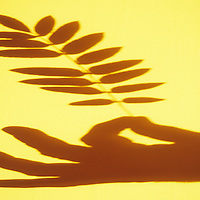 Shadow in warm light of hand with thumb and forefinger gripping leaf of Rowan or Mountain ash or Sorbus aucuparia tree