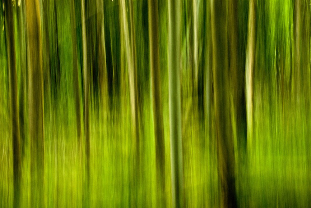 Photograph of trees in mid-summer taken in the Adirondacks using panning motion with camera and slow shutter speed to render image as painterly or impressionistic.