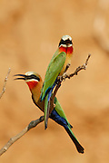 White Fronted Bee-eaters nesting on the banks of the Chongwe River. .Lower Zambezi National Park, Zambia, Southern Africa..© Zute & Demelza Lightfoot.www.lightfootphoto.com..