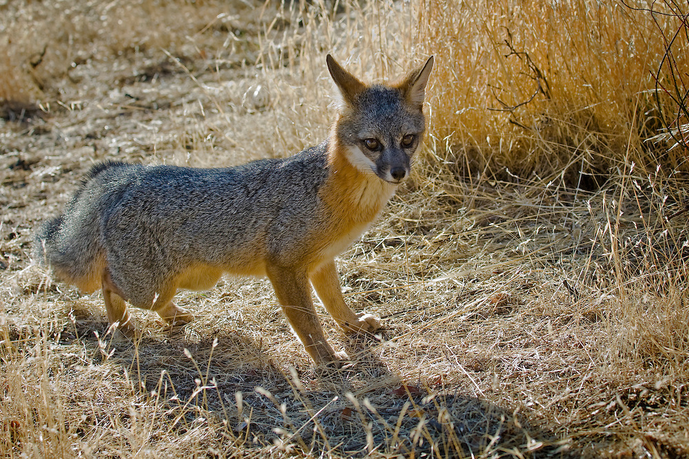 gray fox is found in brushy areas, swamplands and rugged, mountainous terrain of North America.