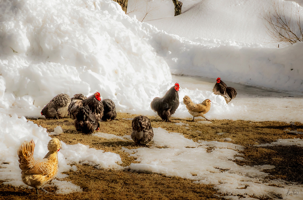 A flock of chickens foraging with deep snow all around them.