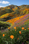 Super-blooms are infrequent in California only occurring once in several years. In 2019 conditions lined up producing a spectacular bloom near Lake Elsinore.